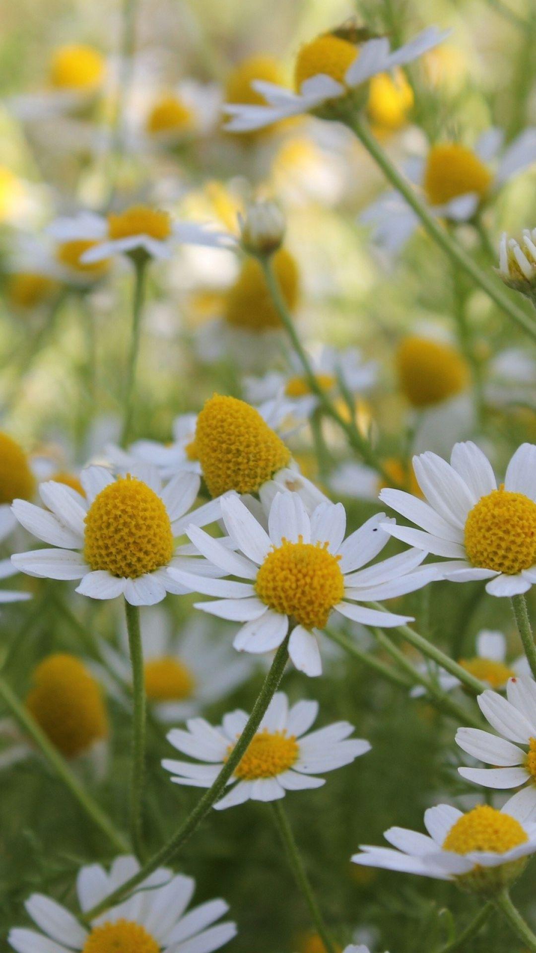 A field of pretty daisies love simple flowers daisy love a field of pretty daisies love simple flowers izmirmasajfo