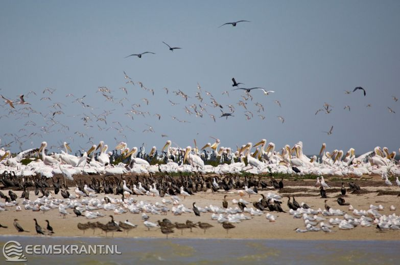 The Netherlands, Province of Friesland - Wadden Sea: Soon quiet again at the Wad. A large part of the waders, but also birds like spoonbills and godwits escape the winter cold of the Wadden Sea for the warmth of the other Wadden Sea, the Banc d'Arguin in Mauritania. An area whose importance for the international migration only in 1980 was quite clear. Including through the work of the Groningen professor Theunis Piersma. Marius Dussel Photography.