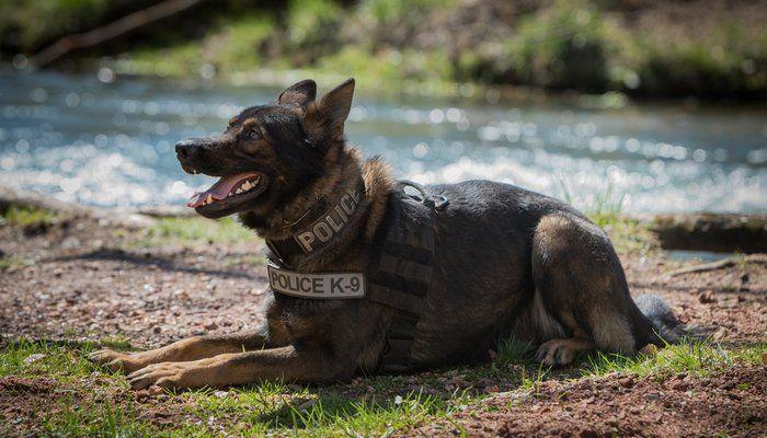 15 Most Popular Police Dog Breeds Cop Dog Dog Breeds Police Dog Breeds