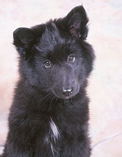 Belgian Sheepdog Puppy Belgian Sheepdogs Are Very Trainable