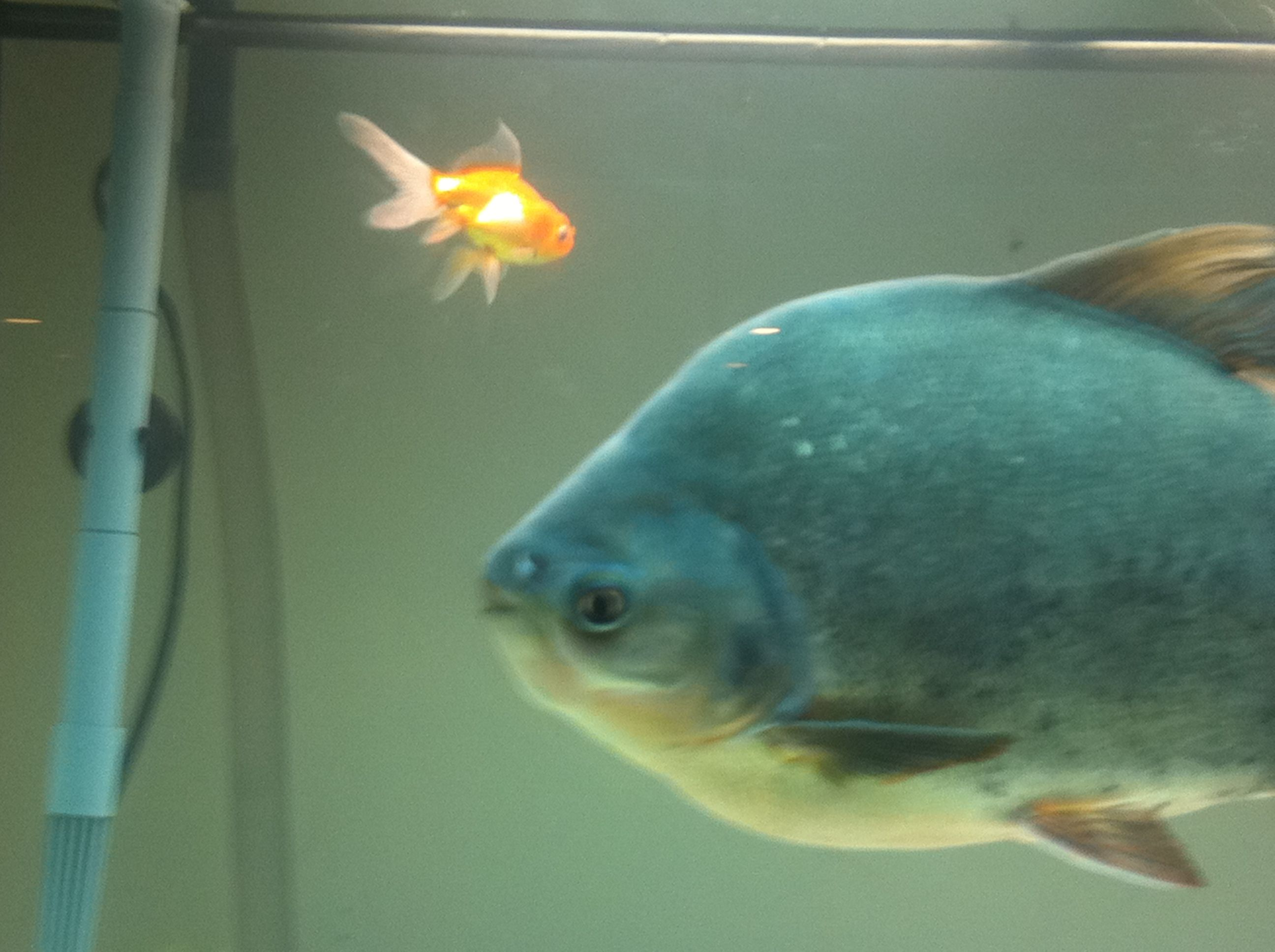 """""""FLuffy"""" the giant Pacu Fish needs an adoptive home. He is"""