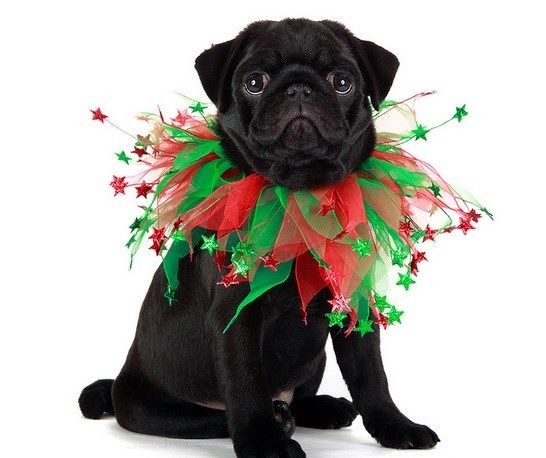 Cute Black Pug Puppy Christmas Merry Christmas Card Puppy Holiday