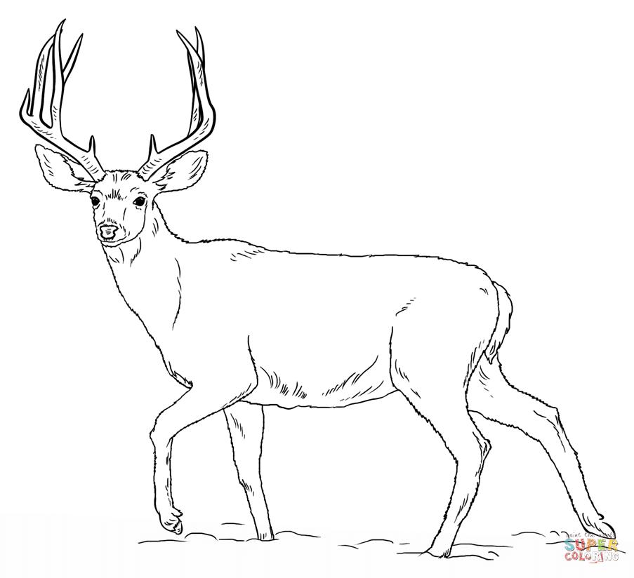 Mule Deer Coloring Page Png 903 824 Deer Drawing Deer Coloring Pages Animal Drawings