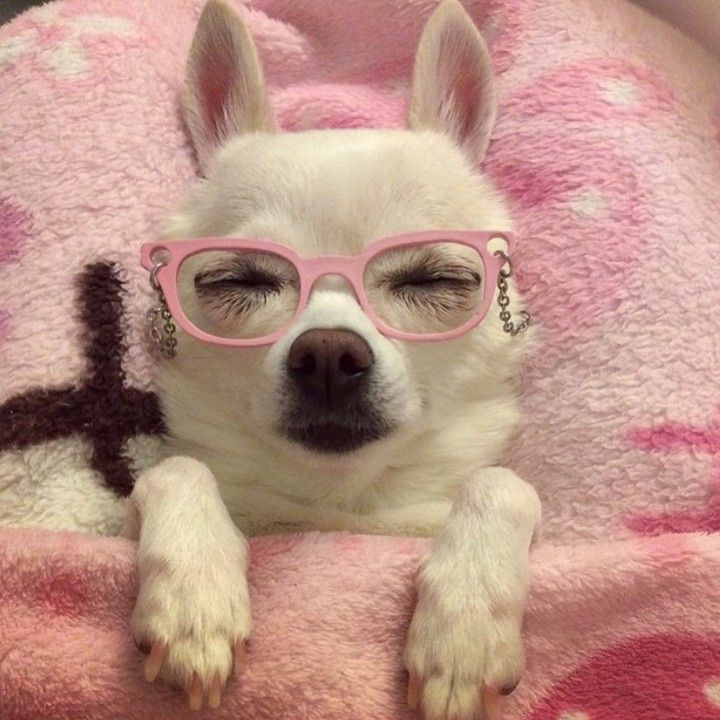 Dogs And Pals Official Page On Instagram Good Night Dogsandpals By Chihuahua Chloe1 Perros Graciosos Perro Con Lentes Imagenes De Perros