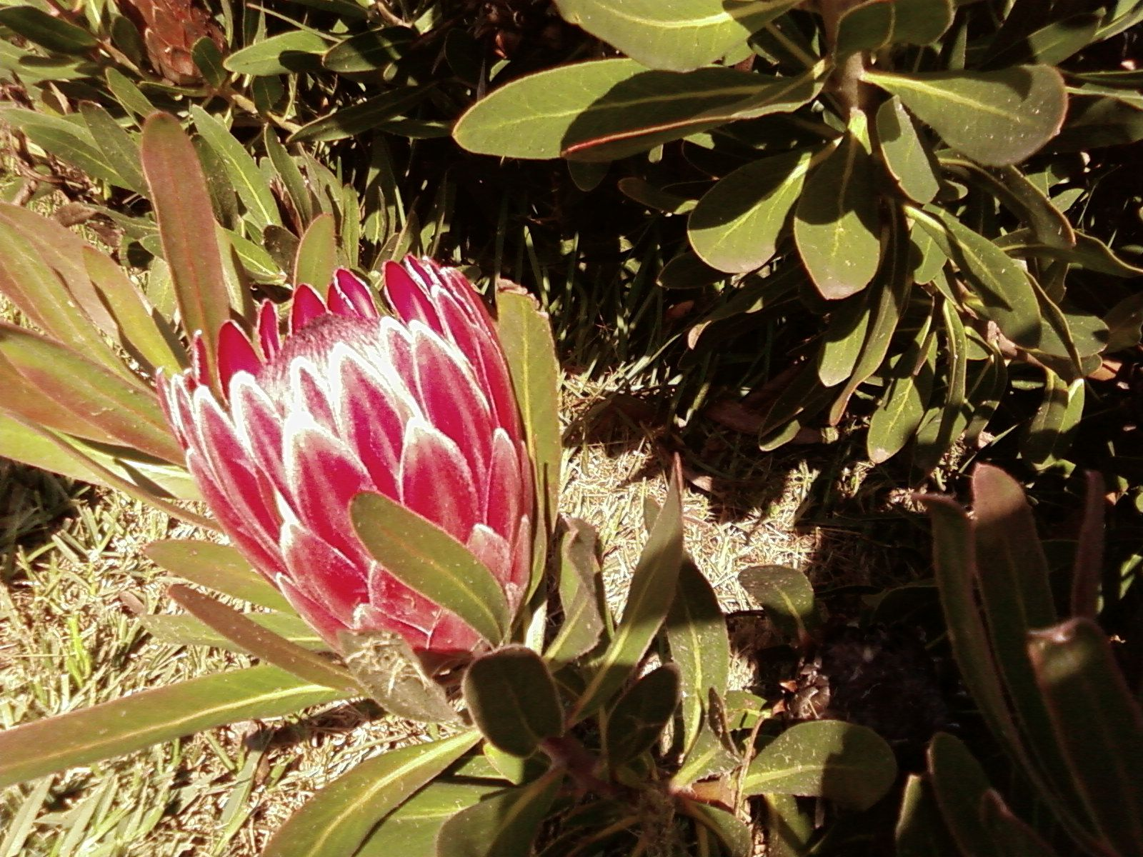 Protea growing wild on the mountainside above Fish Hoek August 2008