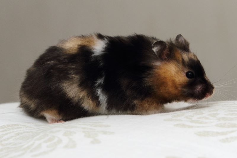 Black Tort And White Hamster Cute Animals Cute Hamsters