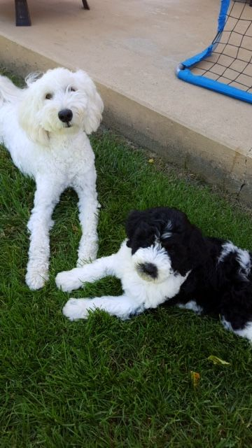 Angela S Schnoodles Offers Adorable Giant Schnoodle Dogs And Puppies For Sale In Bluffton Indiana Schnoodles Make Won Schnoodle Dog Schnoodle Schnoodle Puppy