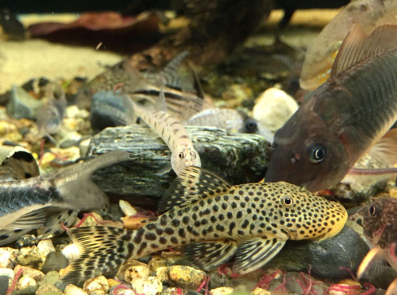 Herbivorous freshwater aquarium fish - L445 Spotted Bulldog Pleco Freshwater Aquariumaquarium Fishbulldogfarm