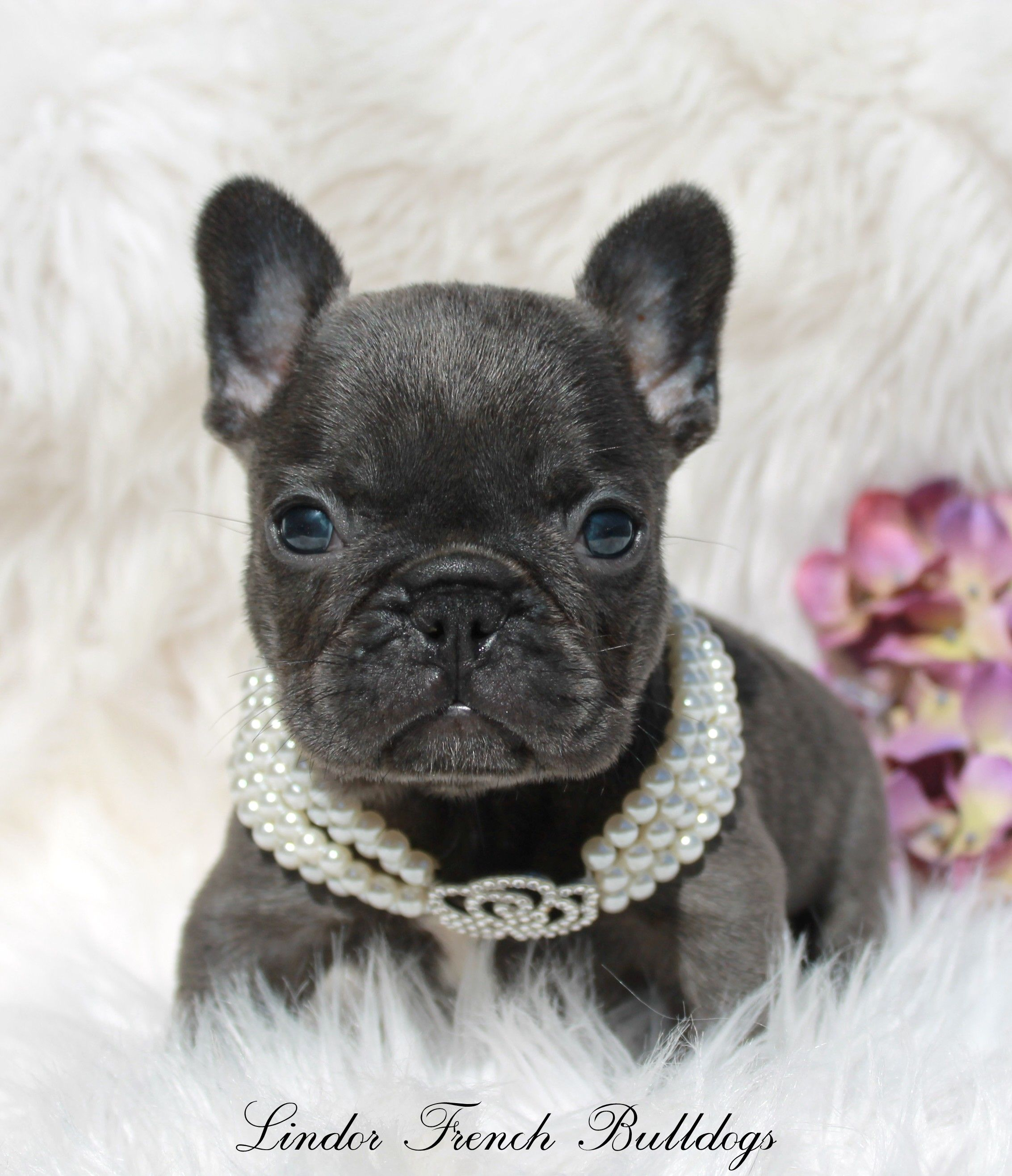 Home Lindor French Bulldogs Frenchies For Sale All Colors Bulldog Puppies For Sale French Bulldog Blue Blue French Bulldog Puppies