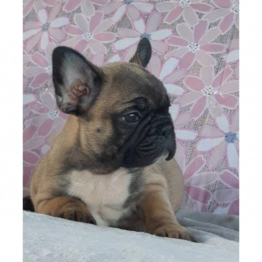500$ #frenchbulldogpuppy | Boston Terriers and French