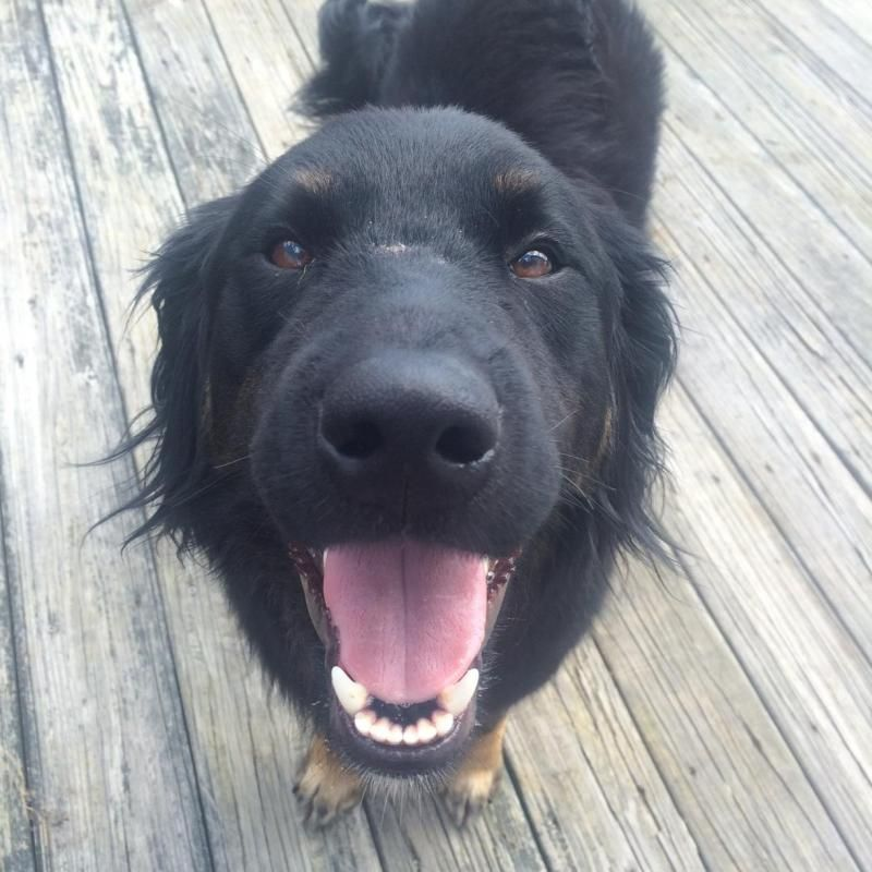 Adopt Alvin on (With images) Australian shepherd