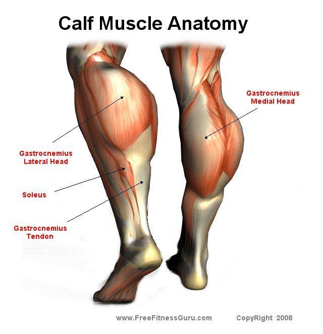 Calf Muscle Anatomy Health Fitness Pinterest Calf Muscle