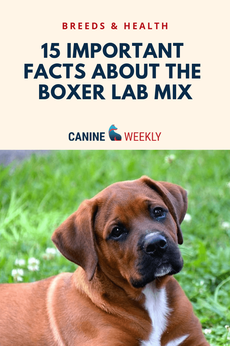 The 15 Important Facts About The Boxer Lab Mix A K A Boxadors Learn More About Their Traits And Characteris Boxer Lab Boxer Lab Mixes Boxer Lab Mix Puppies