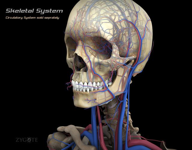 3d Female Skeletal System Model Earn And Extra 200 400 A Week