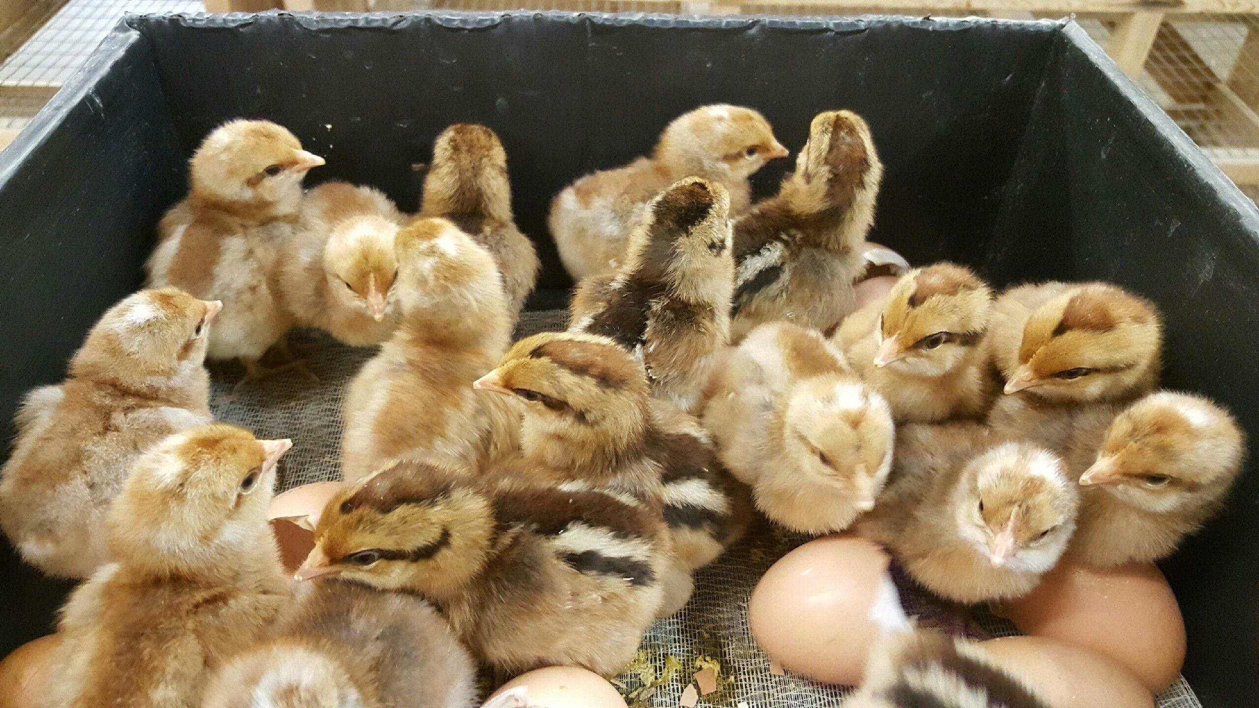 Bielefelder Chicken Chickens for sale, Baby chicks, Day
