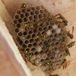 Are Wasps Using Your Attic As Their Winter Home Learn