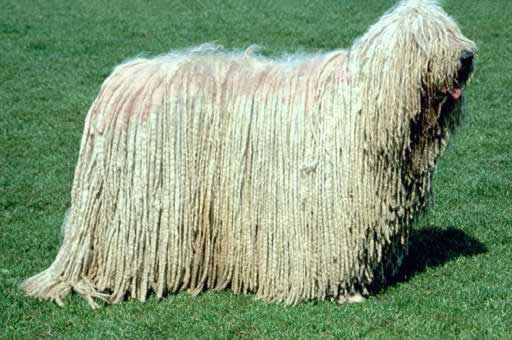 That Dog Is A Carpet I Think You May Need To Dry Clean It Once A Week Komondor Dog Mop Dog Komondor