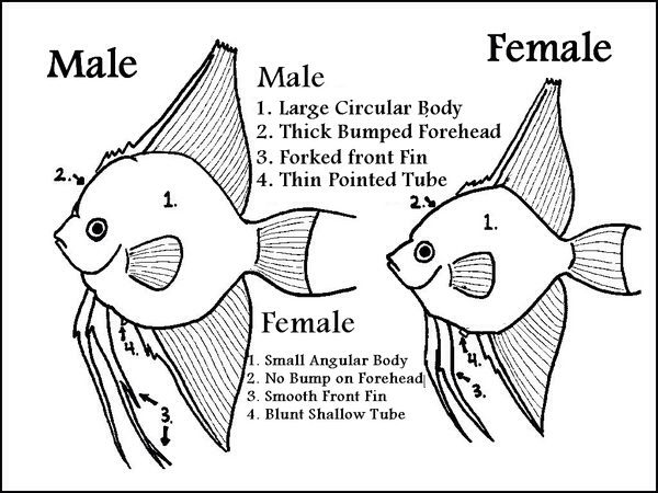 Knowing The Difference Aquarium Fish Tropical Freshwater Fish Angel Fish