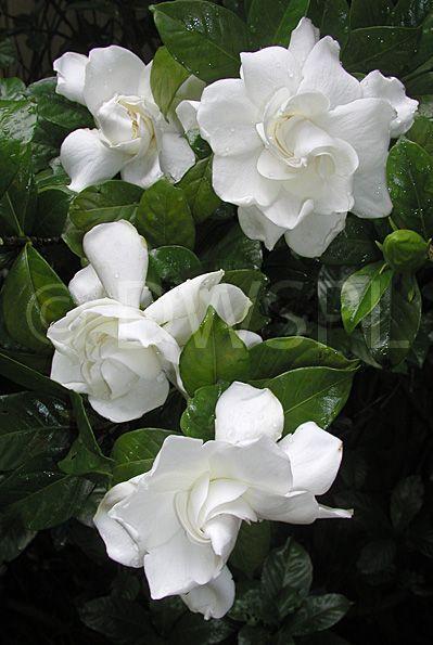 Gardenias Flower Google Search Blommor