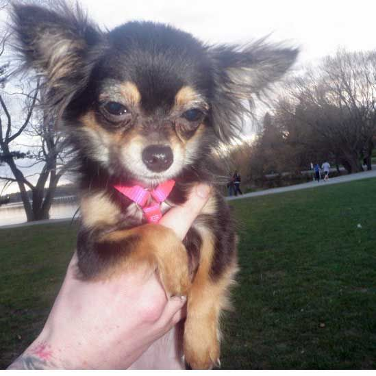 The Other Option Long Haired Black And Tan Chihuahua Little Girl