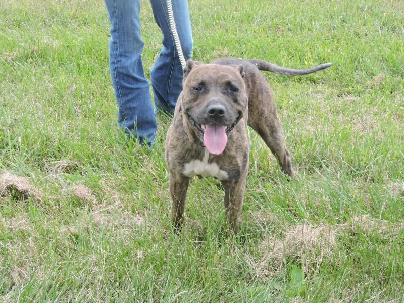 Meet Willia  AT RISK, a Petfinder adoptable Pit Bull Terrier Dog | Waverly, OH | this dog is an owner surrender.This dog is 2-3 years old, weighs 61 pounds and available for...