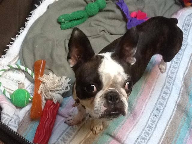 Hi I M Misha And I M Available For Adoption Http Www Adoptapet Com Pet 8566228 Greensboro North Carolina Boston Terrier Btrnc Boston Terrier Terrier Pets