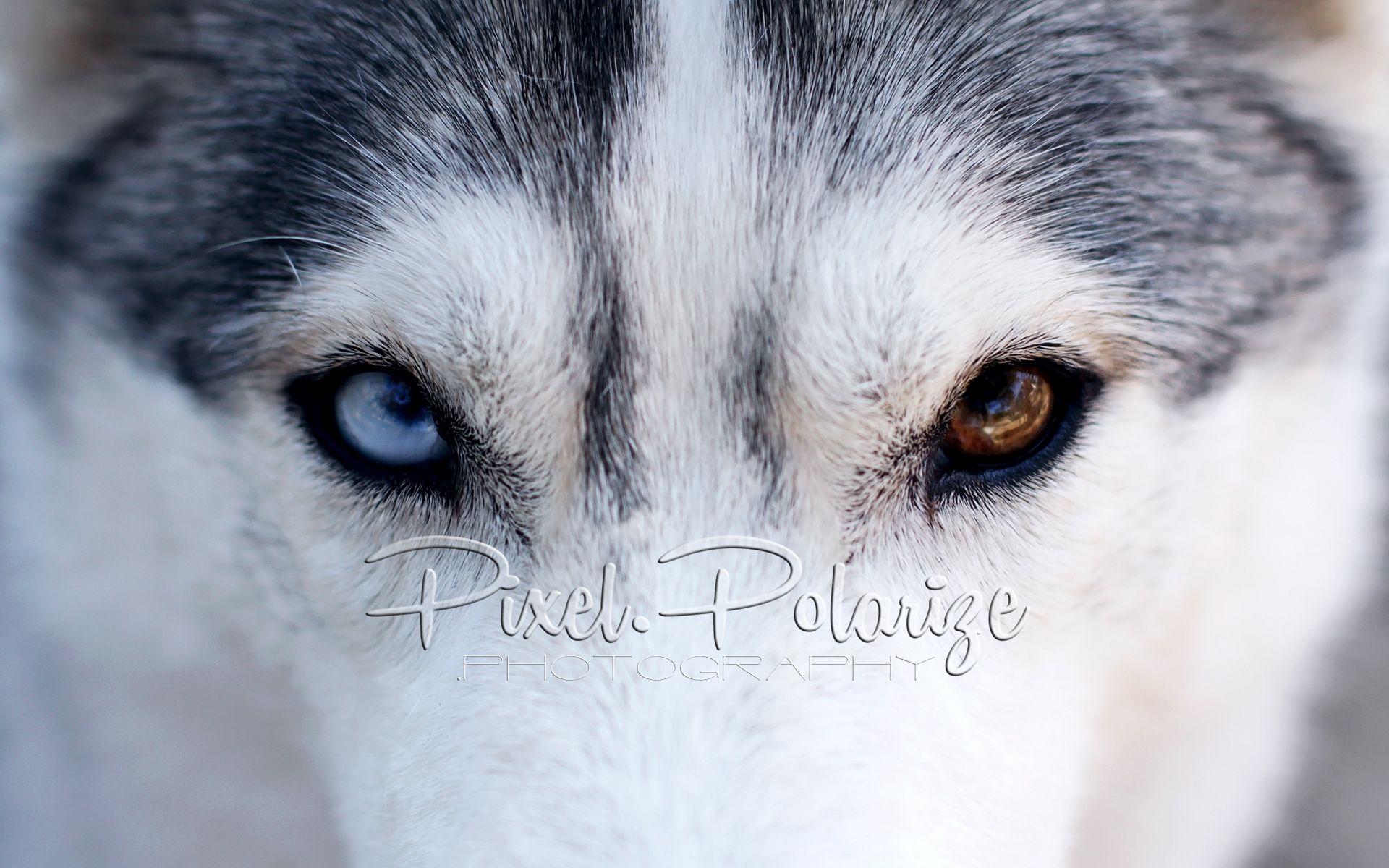 Those Eyes Husky Husky Faces Alaskan Husky