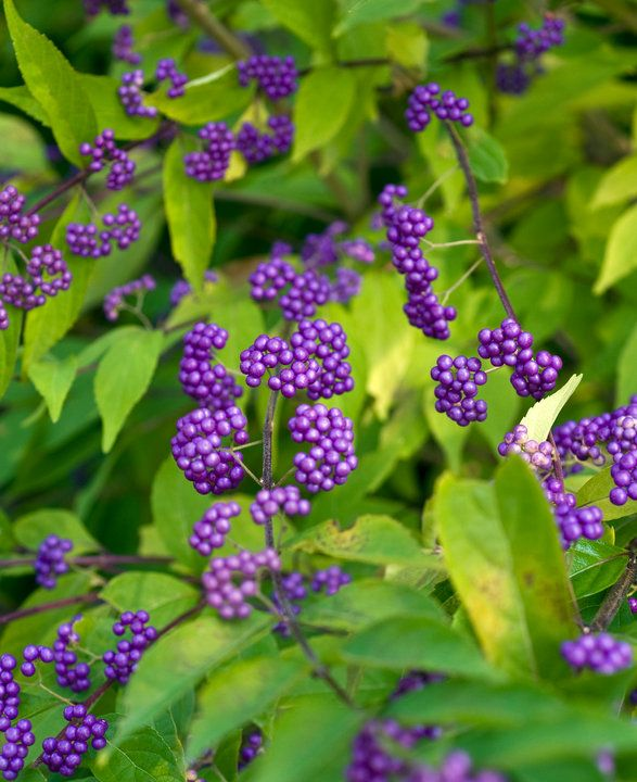 Purple Beautyberry Callicarpa Dichotoma I Ve Had This Growing