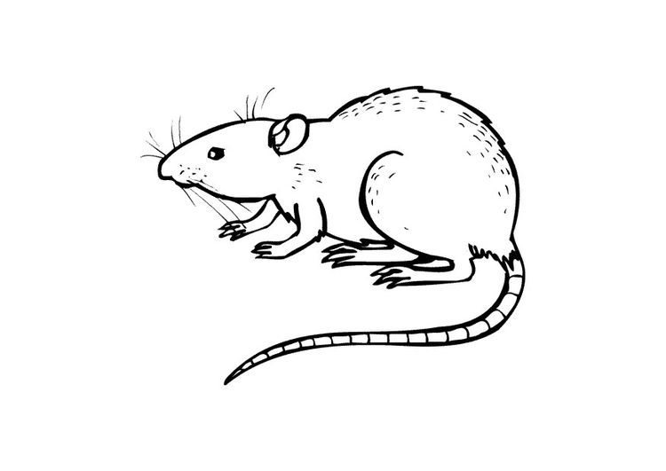 Coloring Page Rat Animal Coloring Pages