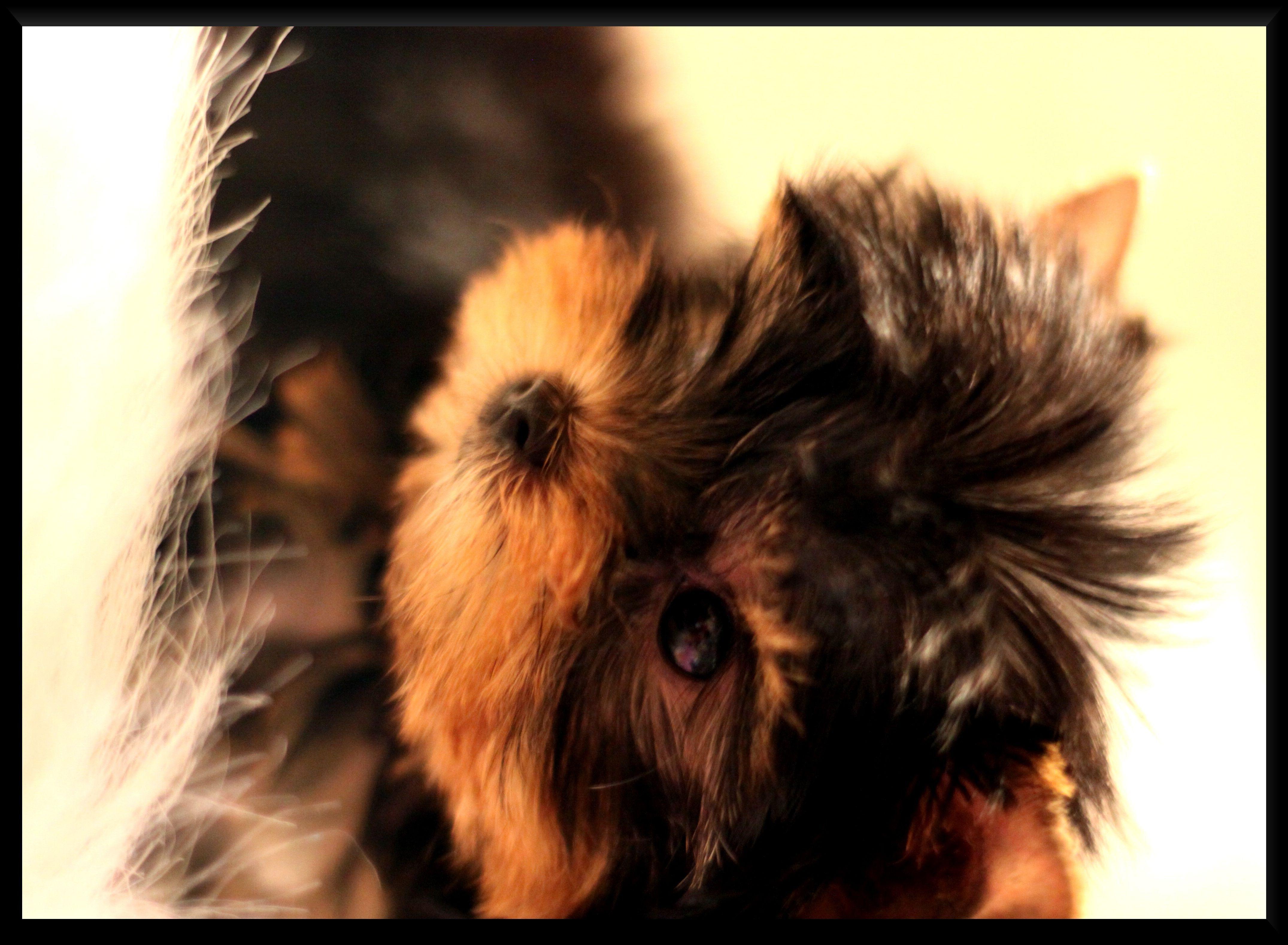 Goldendoodle Web Site, F1 goldendoodles, Texas, Puppies