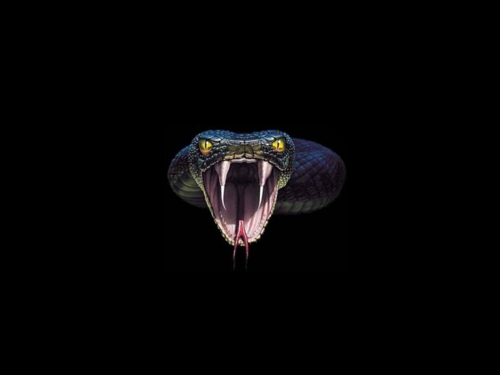 Gallery For Black King Cobra Snake Wallpaper Snake Wallpaper