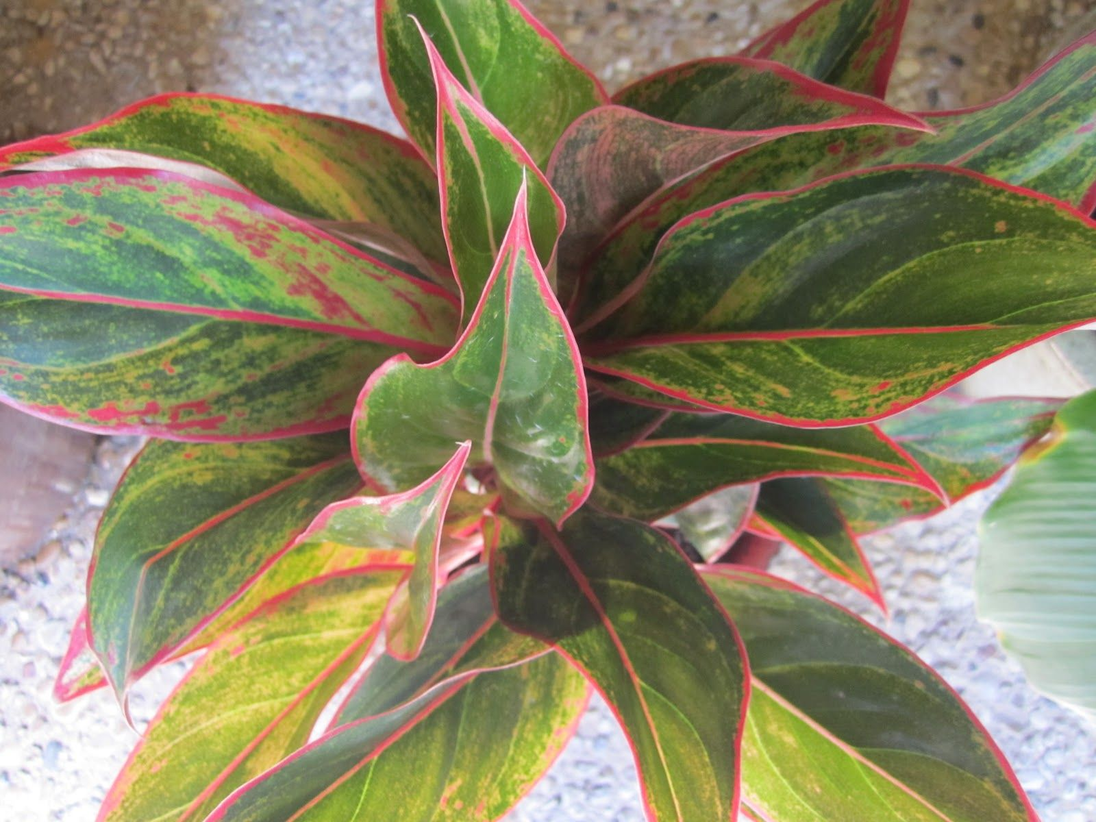 The Leaves Of The Chinese Evergreen Are Broad And Full