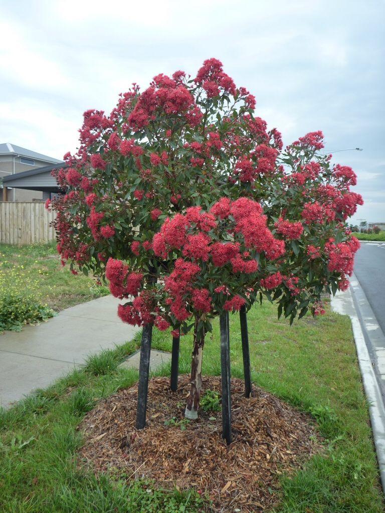 Corymbia ficifolia flowering gum 39 wildfire 39 massinger st for Garden design under gum trees