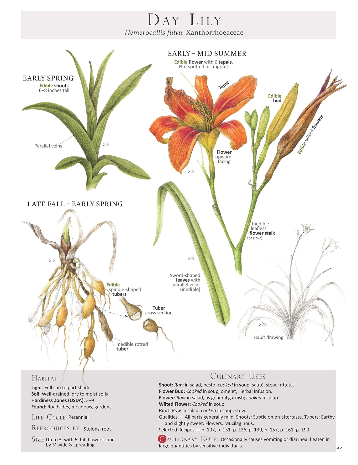 Plant Database: Plants, Day Lilies, Edible Plants