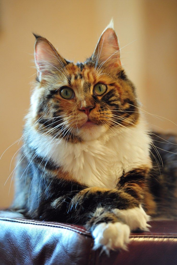 India Perfect Cat Cats..Chris Cross Paws.... Cats