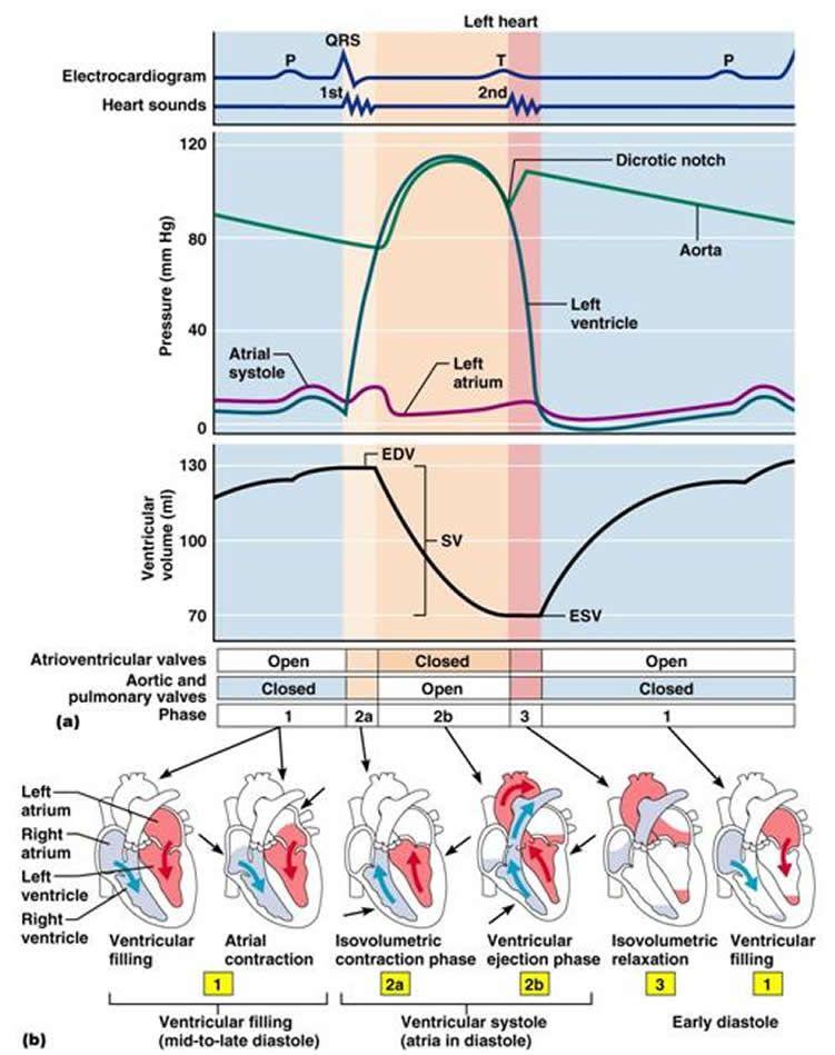 Cardiac Cycle Ekg Diagram Labeled Online Schematic Diagram