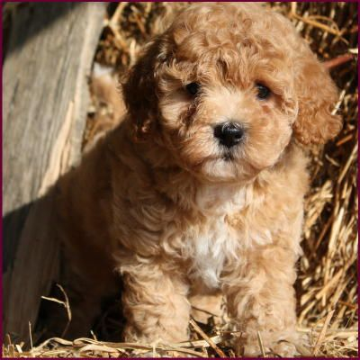 Poochon Poodle Bichon Frise Mix Love This Color With