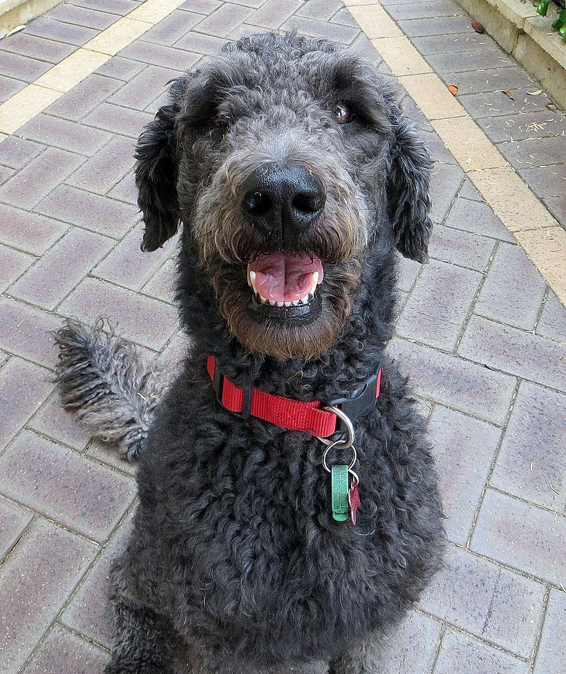 Shepadoodle Poodle German Sheperd We Think We Have Found Our