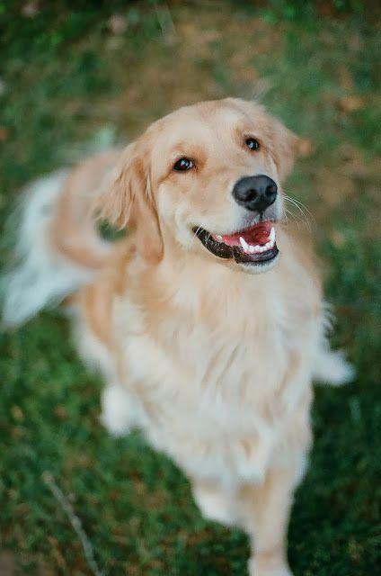 Samantha Brooke Photography Golden Retriever Photography Golden Retriever Dog Life