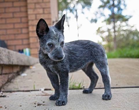 Australian Working Dog Rescue. Sampson was seen being