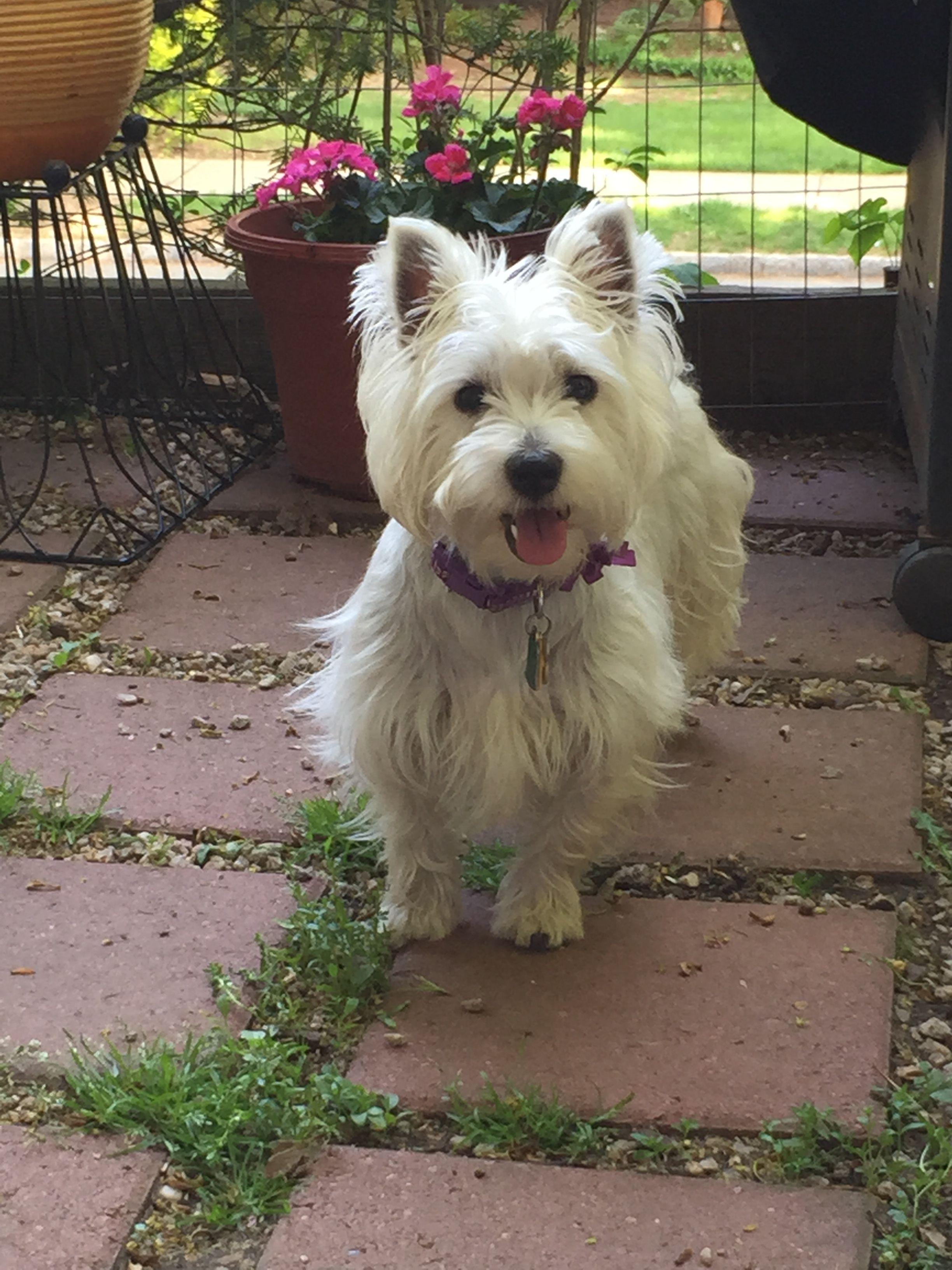 Pin By Kelly Cvitak Rudie On Pets Westie Puppies Westies Terrier Dogs