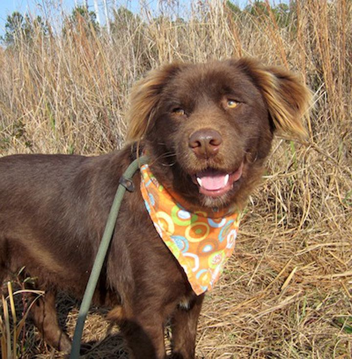 Who Can Resist Chocolate And Especially This Chocolate Labrador