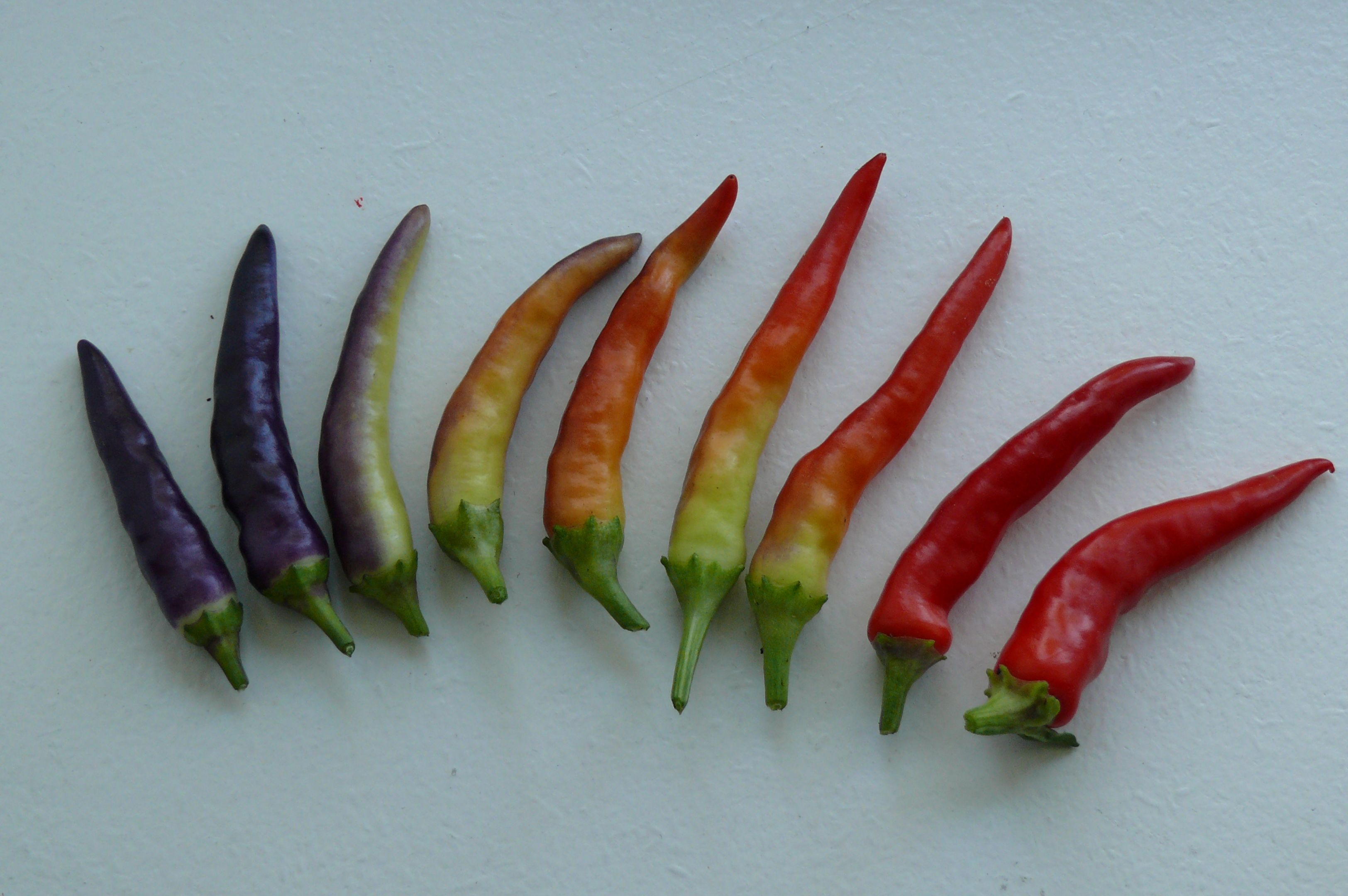 Chilli, chili, masquerade from purple to red | Peppers | Pinterest ...