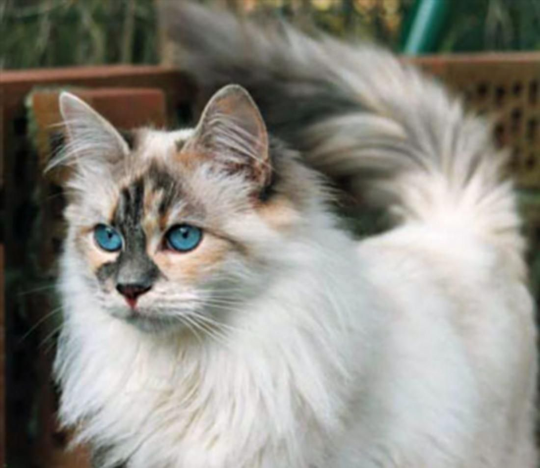 Blue Eyed White Siberian Cat Pretty Cats Siberian Cat Beautiful Cats