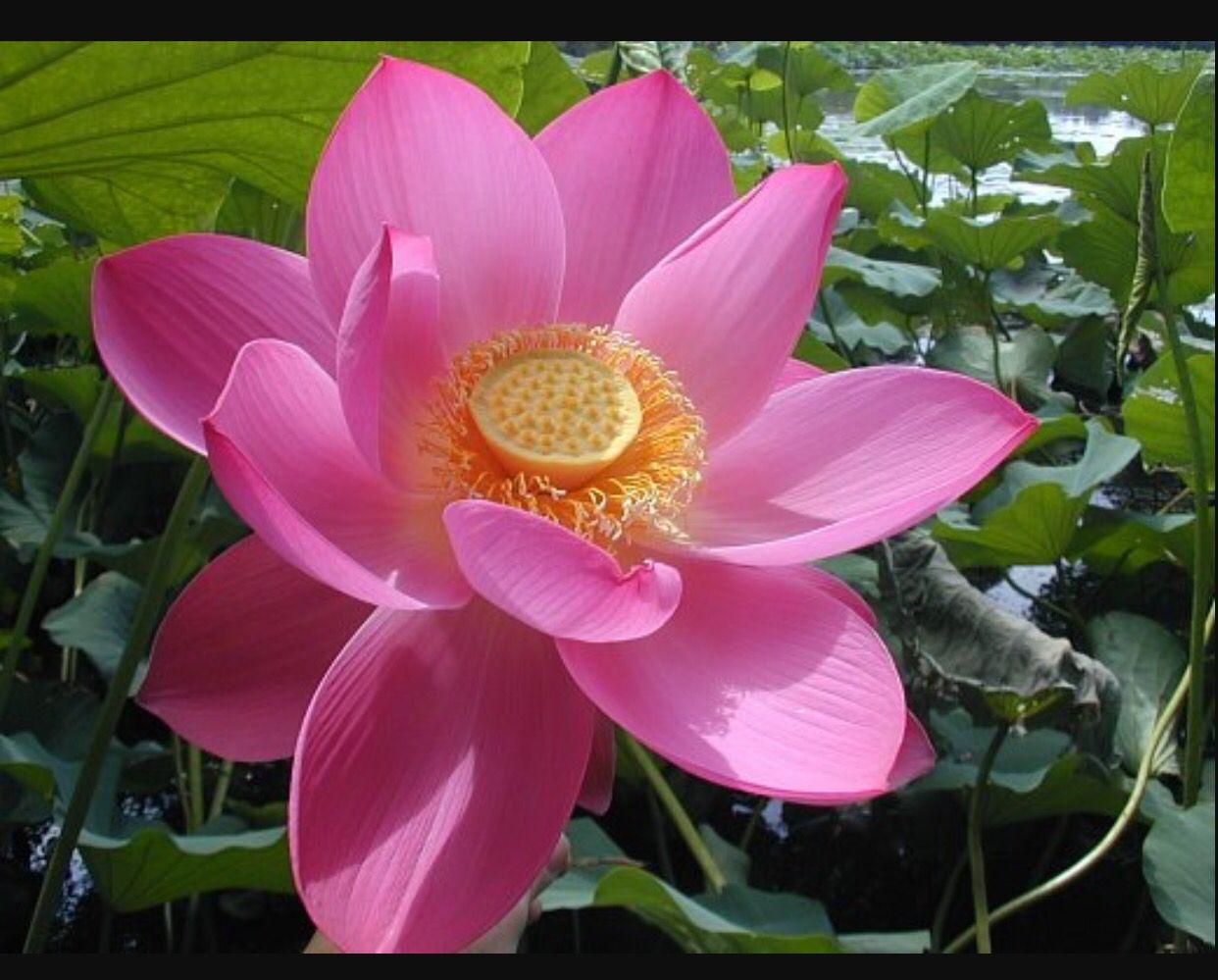 Pin by conner isa on lotus tattoo pinterest lotus tattoo sacred lotus flower common name sacred l otus indian lotus scientific name nelumbo n ucifera height m growth ra mightylinksfo