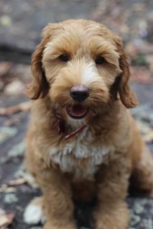 Labradoodle Puppy Www Sands Australian Labradoodles Com Breeders