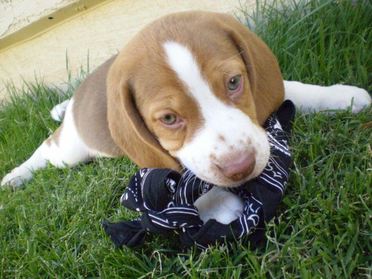 Chocolate Beagle Puppy Toby Beagle Puppy Puppies Beagle