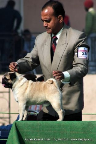 Pug In Patiala Dog Show For More Visit Http Www Dogspot In