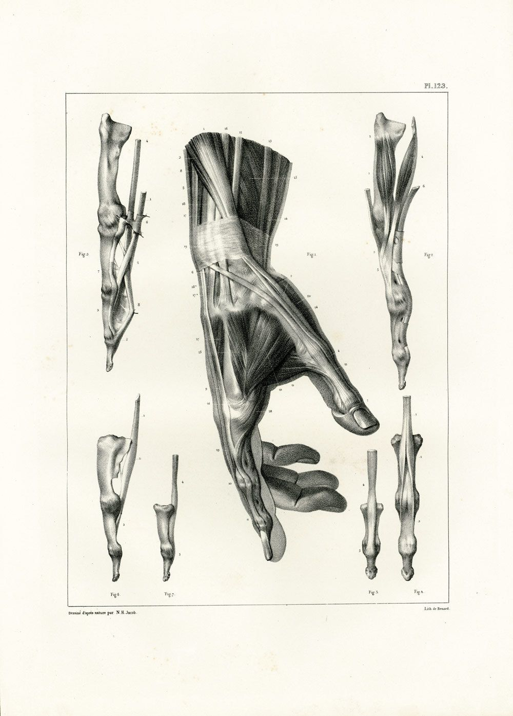 1831 Anatomy Fingers Palm Hand Muscles Tendons, Hand Print Large ...