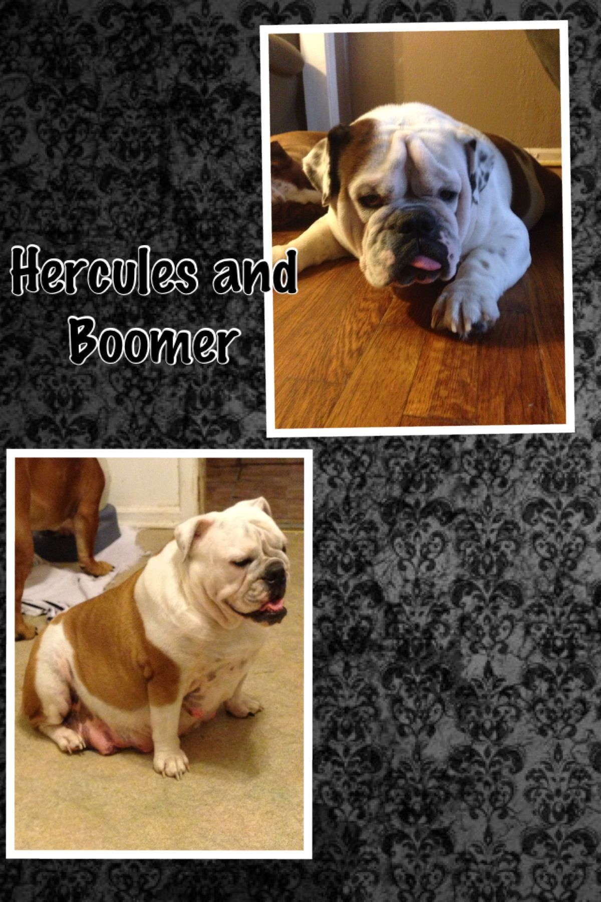 Hercules And Boomer Waiting For Their 3rd Litter Of Puppies Hercules Puppies Boomer